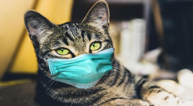 KKTCde evcil kedi sahibinden COVID-19 kaptı