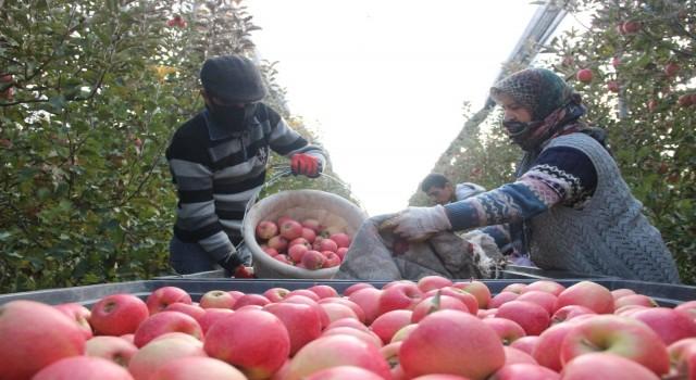 Karamanda günlük 13 bin kişi elma toplamaya gidiyor
