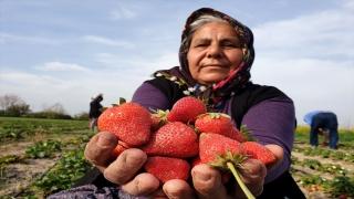 Osmaniye'de hububata alternatif olarak üretilen çileğin hasadına başlandı
