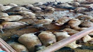 Mersin'de hayvan pazarına giren sokak köpekleri 40 küçükbaş hayvanı telef etti