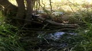 2 metrelik siyah yılanın, kendi boyundaki gri benekli yılanı yemesi saniye saniye telefona yansıdı