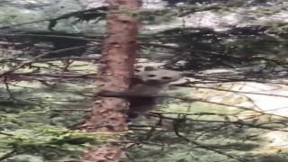 Artvinde minik ayı yavrusunun ağaçtaki sinirli görüntüsü ve ağaçtan inişi cep telefonu kameralarına yansıdı