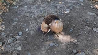 Balaban kuşu tedavi altına alındı