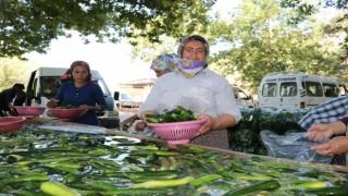 Kahramanmaraşta salatalıkta hasat bereketi
