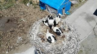 Leylek yavruları büyük göçe hazırlanıyor