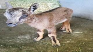 Tuncelide yavru dağ keçisi koruma altına alındı