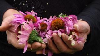 Uşak bahçeleri ekinezya ile çiçekleniyor