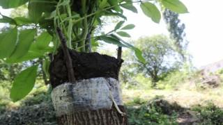 Verimden düşen ceviz ağaçları ekonomiye kazandırılıyor