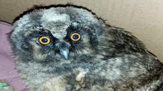 Yavru kulaklı orman baykuşu tedavi altına alındı