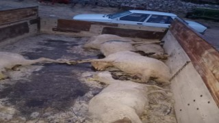 Yaylada doluya yakalanan sürüdeki 18 koyun telef etti