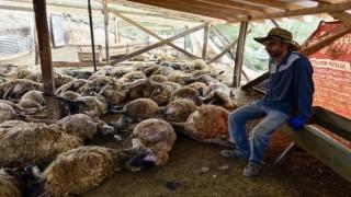 Gümüşhanede ağıla giren kurtlar 103 koyunu telef etti, 43 koyunu yaraladı