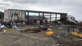 Hopada bir tır dorsesinde ölüme terk edilen atlar için gönüllüler seferber oldu