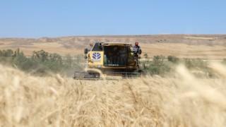 Türkiyenin buğday ambarında hasat başladı