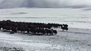 Ardahanda kar ve tipide mahsur kalan yaylacılar ve koyun sürüsü kurtarıldı