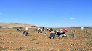 Bayburtta patates hasadına başlandı