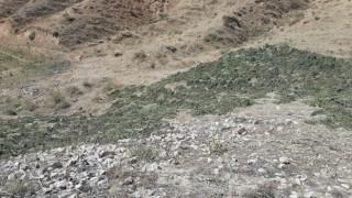 Bingölde kırsalda kurumaya bırakılmış 289 kilo kubar esrar ele geçirildi