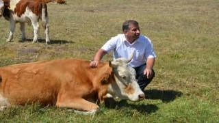 Bu ilçede gebe inekler artık kesilmeyecek