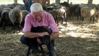 Çiftliğindeki 100 koyun oldu 800
