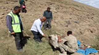 Diyadinde uçurumdan yuvarlanan inek kurtarıldı