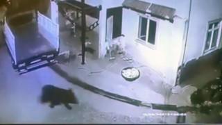 Giresunda aç kalıp mahalleye inen ayı güvenlik kamerasına takıldı