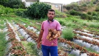 Güneydoğuda yaşanan kuraklık, çilek ve böğürtlen üreticisini zor duruma soktu