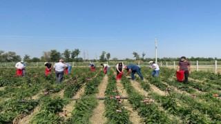Kadınların ekimini yaptığı ekinezya da hasat başladı