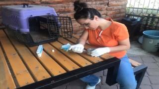 Kargaların saldırısına uğrayan yavru kumru kuşu vatandaş kurtardı
