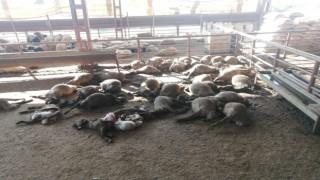 Mersinde ağıla giren köpekler 50 küçükbaş hayvanı telef etti