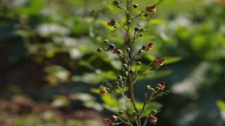 Nesli tükenen bitkiler koruma altında