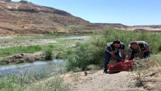 Siirtte kene avcısı bin 60 sülün doğaya salındı