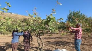 Siirtte, ülke ekonomisine 10 milyar lira gelir sağlayan fıstık hasadı sona erdi