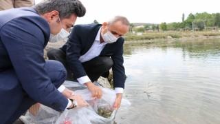 Yarım milyon yavru balık gölle buluşturuluyor